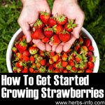 How To Get Started Growing Strawberries