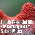Top 10 Essential Oils For Getting Rid Of Spider Mites