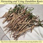 Harvesting And Using Dandelion Roots