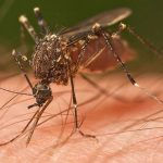 Study Finds Lemon Eucalyptus Essential Oil Is Better Mosquito Repellent Than DEET