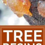 Tree Resins: An Amazing Yet Forgotten Natural Remedy