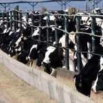 Exposed: The Dairy Industry's Toxic Legacy