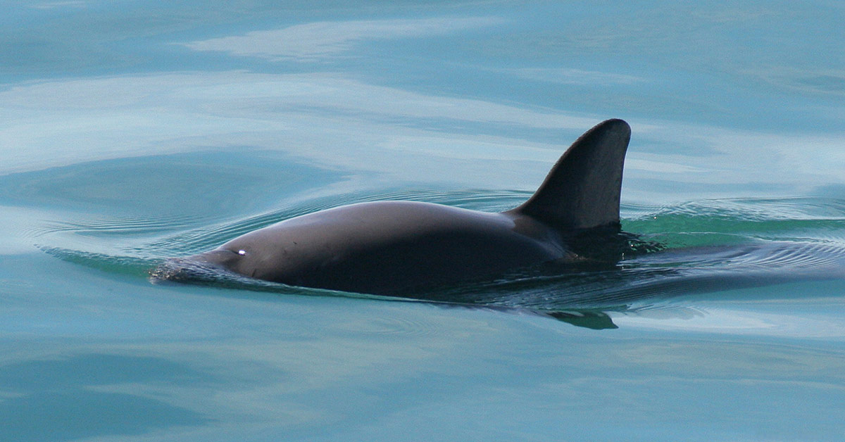 With Only 22 Or Less Vaquita Porpoises Remaining, Scientists Expect Total Extinction