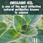 Oregano Oil Is One Of The Most Effective Natural Antibiotics